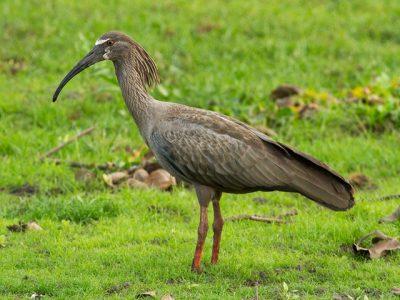 grijze ibis (2)