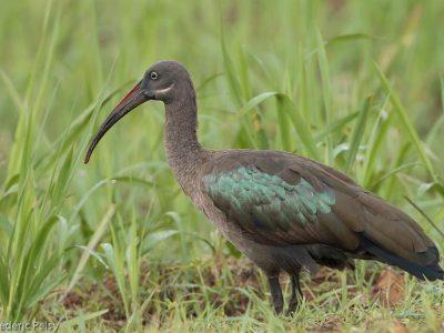 hadada-ibis (3)
