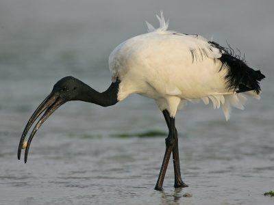 heilige ibis (4)