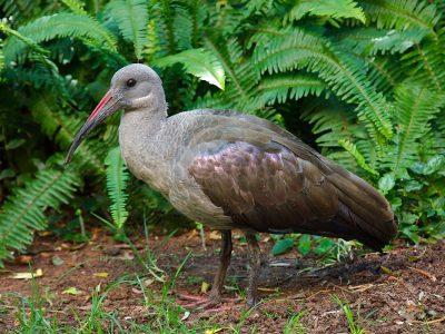 kleine olijfgroene ibis (2)