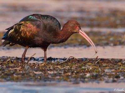 puna-ibis (2)