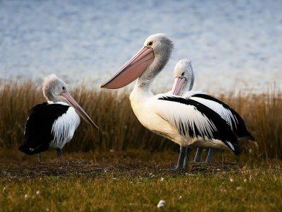 Australische pelikaan (4)