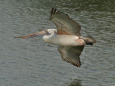 grijze pelikaan (2)