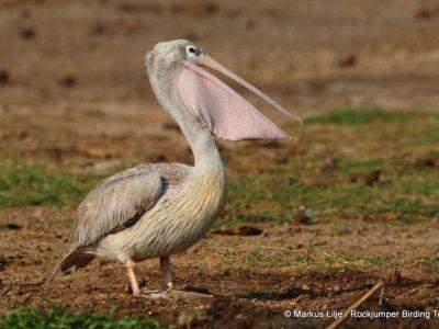 kleine pelikaan (4)