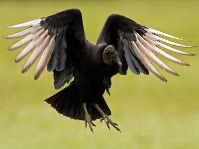 Amerikaanse gieren