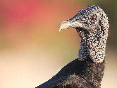 zwarte gier (2)