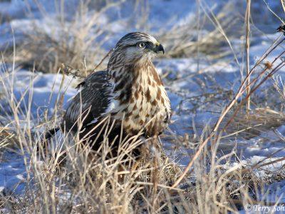 Rough-legged Hawk January 4th, 2009 Fort Pierre National Grasslands, South Dakota Canon 50D, 400 5.6L