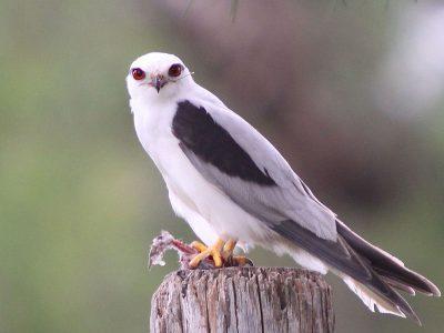 Australische-grijze-wouw-1