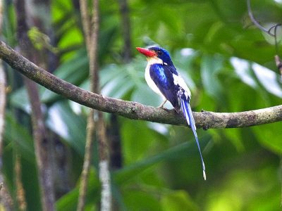 aroevlagstaartijsvogel