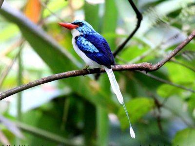 biakvlagstaartijsvogel