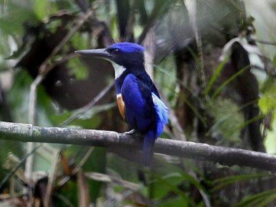 blauw-zwarte ijsvogel