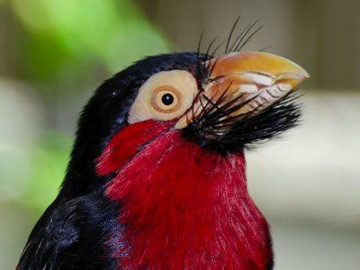 Afrikaanse baardvogels (1)