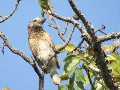 Whyte-baardvogel