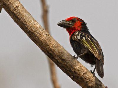 roodzwarte baardvogel