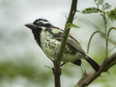 rouwbaardvogel