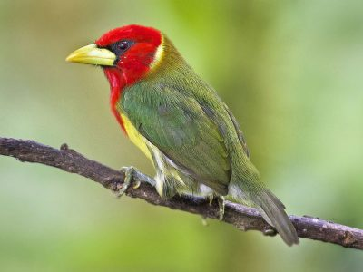 carabayabaardvogel