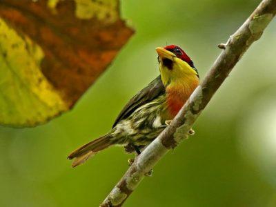 citroenkeelbaardvogel