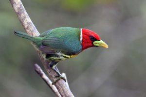 roodkopbaardvogel