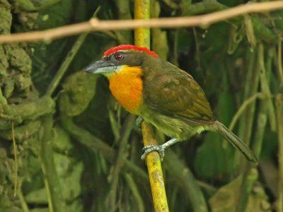 roodkruinbaardvogel