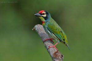Aziatische baardvogels (4)