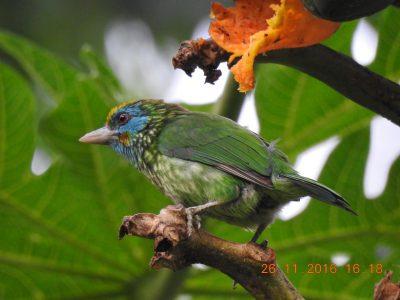 Ceylonese baardvogel