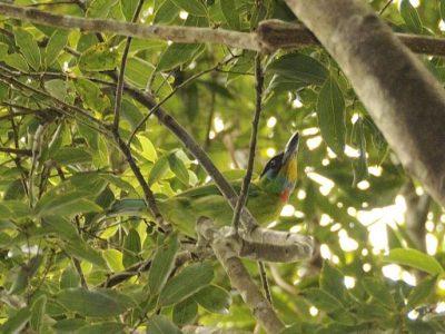 Chinese baardvogel