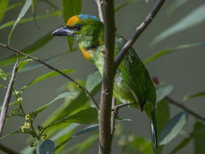 blauwkapbaardvogel