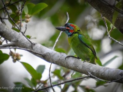 blauwoorbaardvogel
