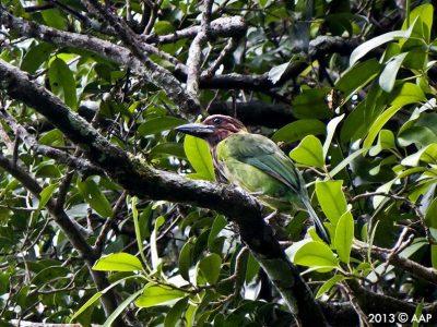 bruinkeelbaardvogel