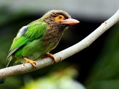 bruinkopbaardvogel