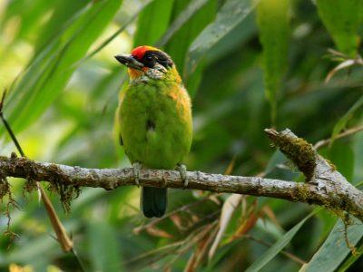 goudkeelbaardvogel