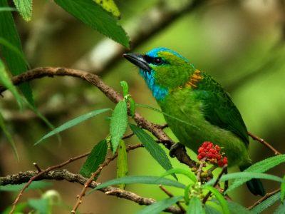 goudnekbaardvogel