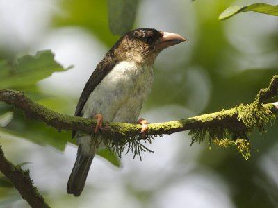 grauwe baardvogel
