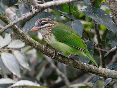 groene baardvogel