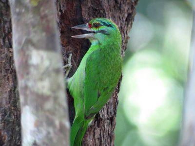 groenkapbaardvogel