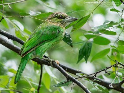 groenoorbaardvogel