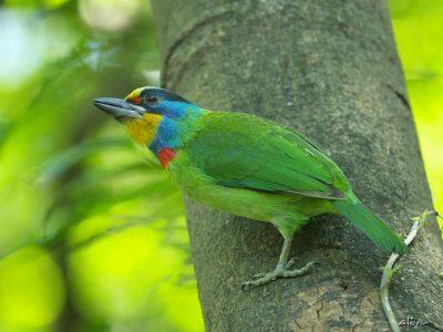 taiwanbaardvogel
