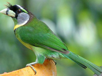 vuurpluimbaardvogel