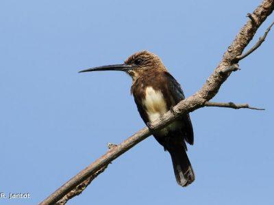bruinkeelglansvogel
