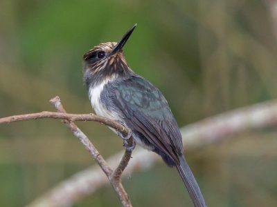 drieteenglansvogel