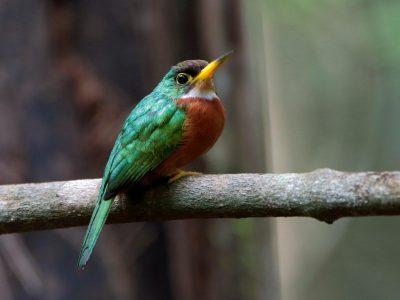 geelsnavelglansvogel