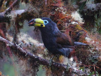 zwartkopbergtoekan