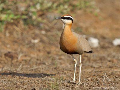 Indische renvogel