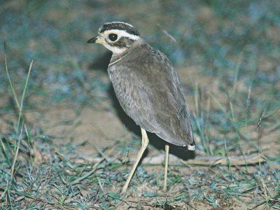 Jerdons renvogel