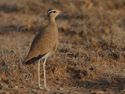 Somalische renvogel