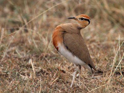 Temmincks renvogel