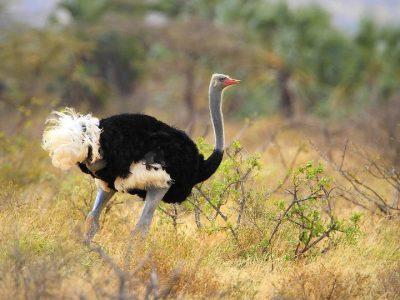 Somalische struisvogel (3)