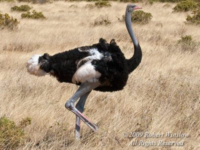 Somalische struisvogel (4)