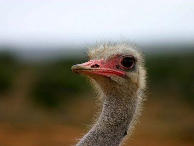 struisvogel (1)