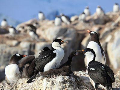Antarctische aalscholver